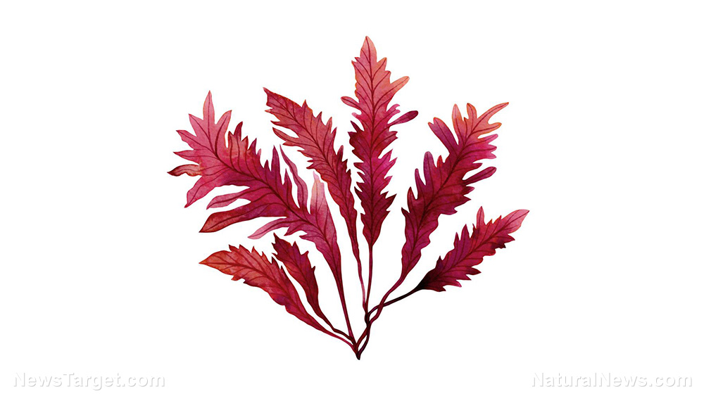 Edible red seaweed found in many dishes from Korea, Japan, and China